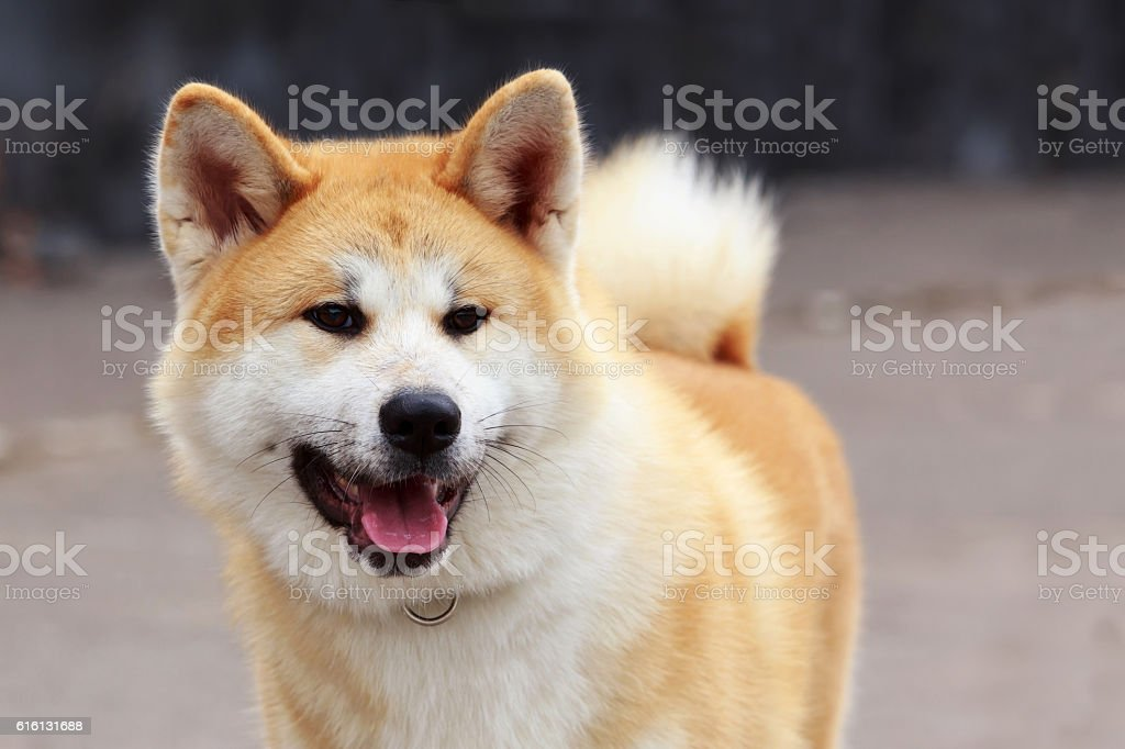 dog breed Akita Inu stock photo