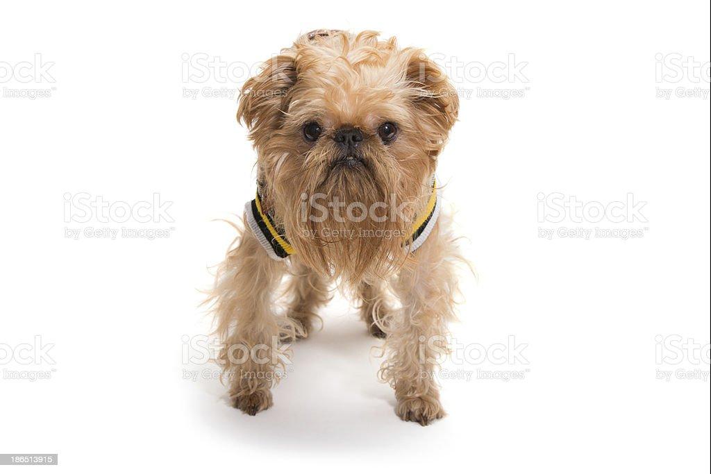 Dog breed Bruxellois Griffon royalty-free stock photo