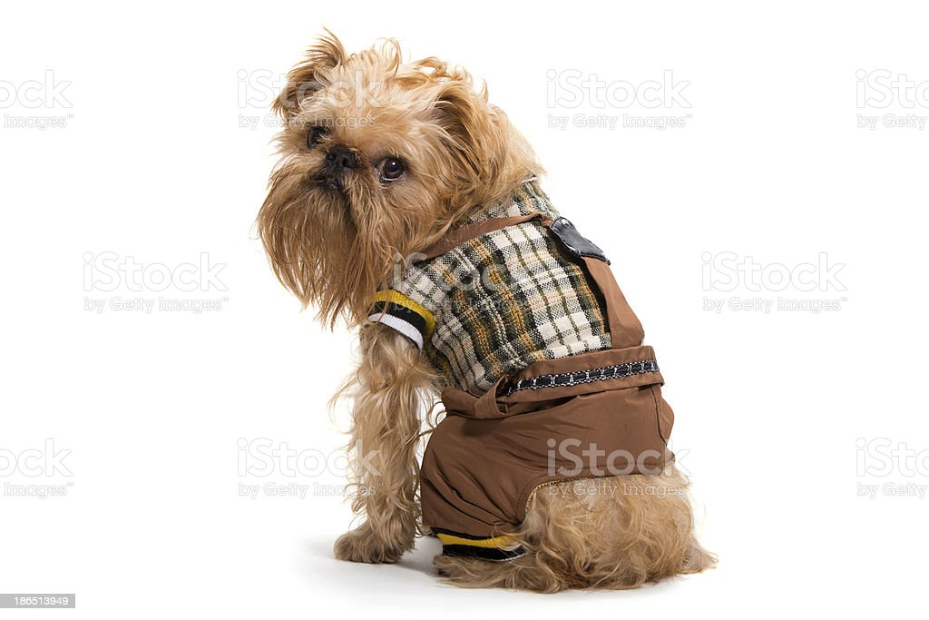 Dog breed Bruxellois Griffon royalty-free stock photo