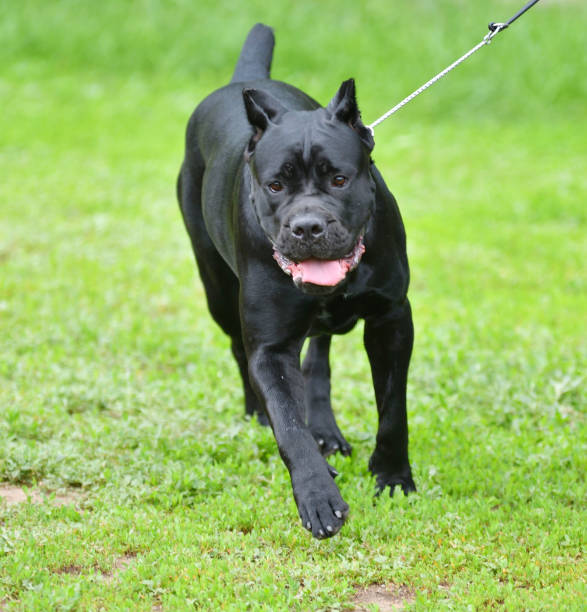 Dog breed Cane-Corso on a walk Dog breed Cane-Corso on a walk on a summer's day cane corso stock pictures, royalty-free photos & images