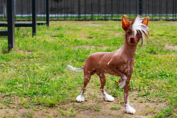 hunderasse chinesischer schopfhund - chinesische schopfhunde stock-fotos und bilder