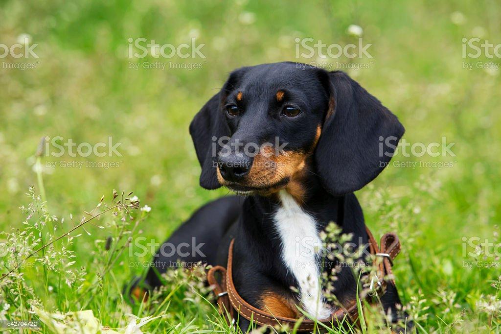dog breed dachshund stock photo