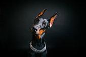 黒の背景に犬種ドーベルマン ・ ピンシャー