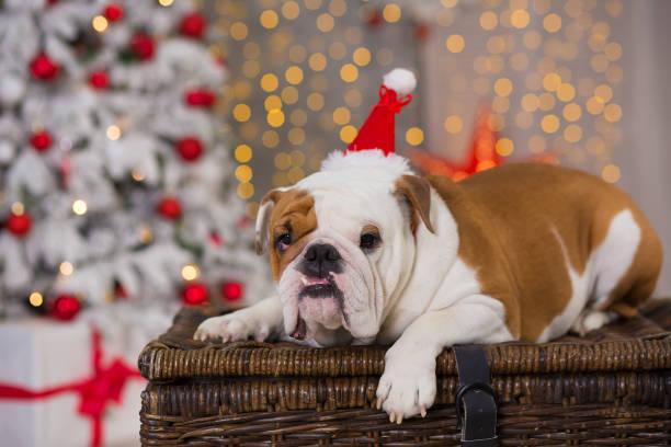 Dog breed english bulldog under the christmas new year tree sitting picture id1067067744?b=1&k=6&m=1067067744&s=612x612&w=0&h=zivujouqof7gqgrf1r76jhht3ixjy1unm01ada o9qu=