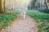 Dog breed Golden Retriever on a walk in the autumn park on road.