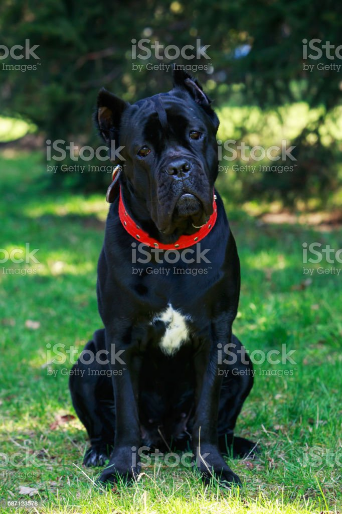 Dog Breed Cane Corso Italiano Stock Photo Download Image Now Istock