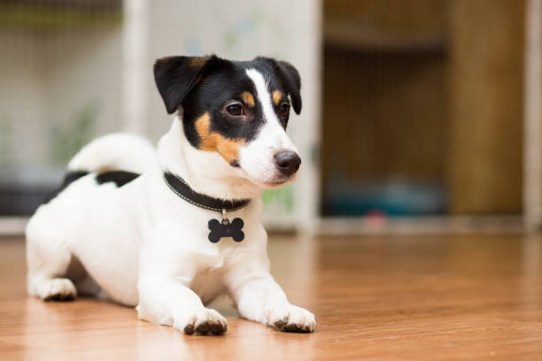 狗品種傑克·羅素·泰瑞爾開玩笑地躺在地板上 - 衣領 個照片及圖片檔