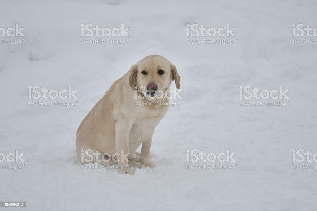 Dog breed Labrador royalty-free stock photo