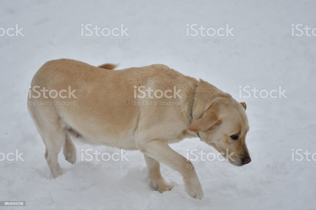 Dog breed Labrador royalty-free stock photo