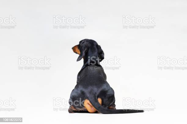 Dog breed of dachshund black and tan looking straight from behind picture id1061822070?b=1&k=6&m=1061822070&s=612x612&h=zb8fqaoqbps2omdb0g8uf0gobsibgjkdx1 qi1hfjke=