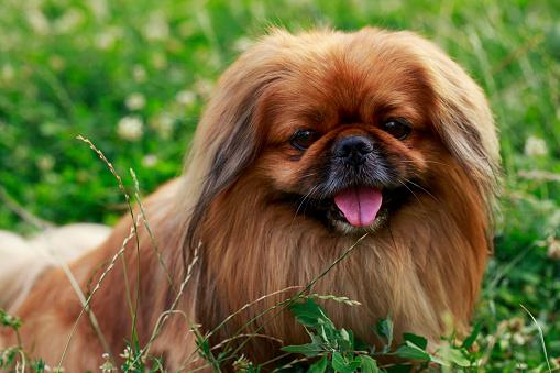 istock dog breed Pekingese 592689430