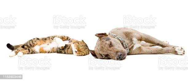 Dog breed pit bull and scottish fold cat sleeping lying together picture id1153903446?b=1&k=6&m=1153903446&s=612x612&h=vugy7vevivuxh64e4agpizshdfkzlshkub3vdzqqs4q=