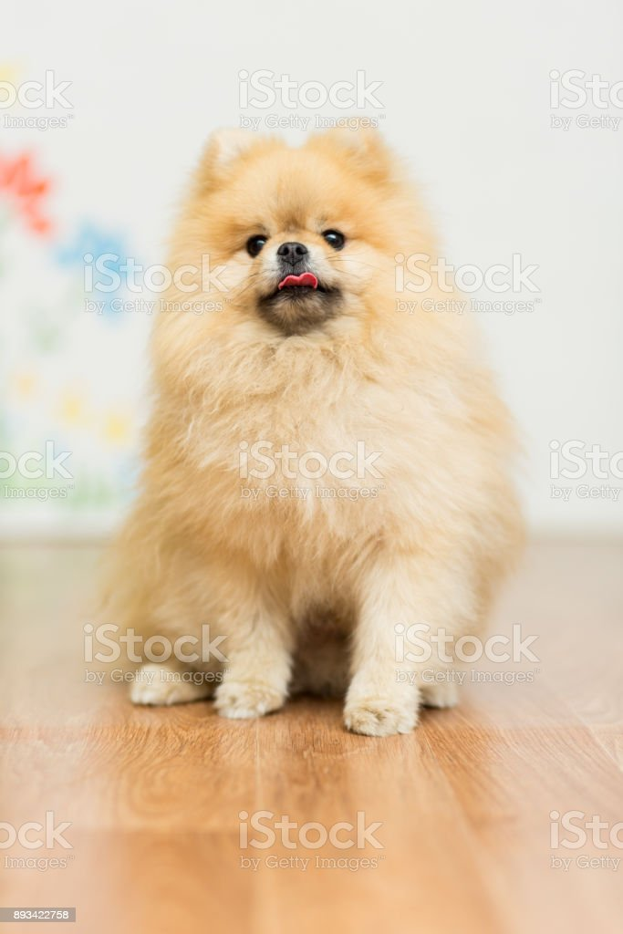 Dog breed Pomeranian red color sitting on the floor stock photo