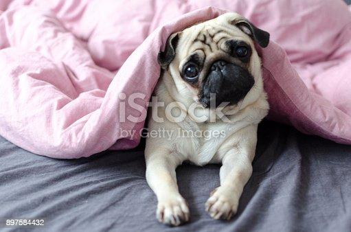 dog breed pug under the pink blanket