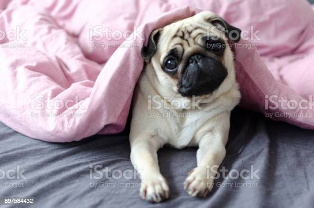 Dog breed pug under the pink blanket picture id897584432?b=1&k=6&m=897584432&s=612x612&h=n ekcriu9f17cnb2jb7u 21y1ksrosaqvrvhtldhkqc=