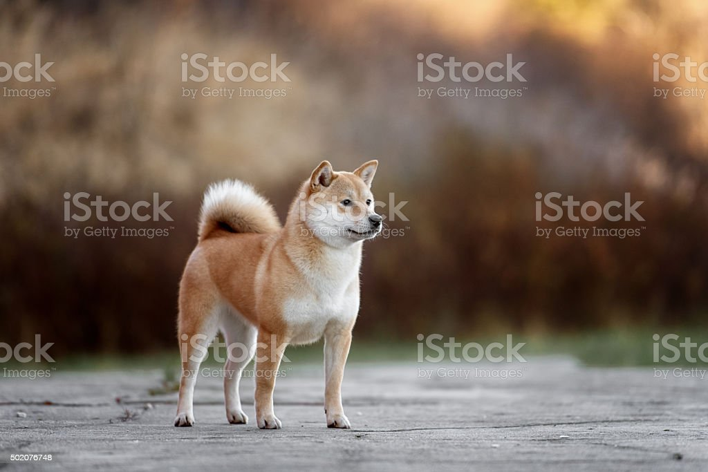 Dog breed red Japanese Shiba walking in park stock photo