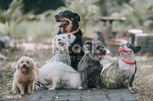 dog breed rottweiler, french bulldog, toy poodle, Scottish terrier, Pomeranian outside under sunlight