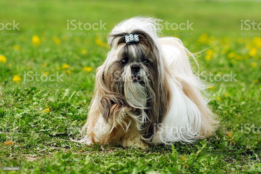 dog breed Shi tzu summer runs stock photo