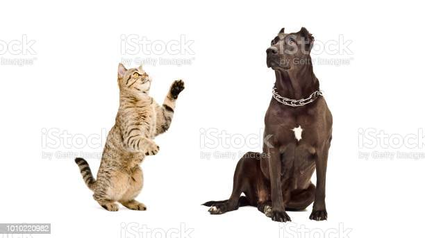 Dog breed staffordshire terrier and playful cat together picture id1010220982?b=1&k=6&m=1010220982&s=612x612&h=hoghbf7gli54v2vvynrnz62qawtwcnrjirpzfwqmtcy=