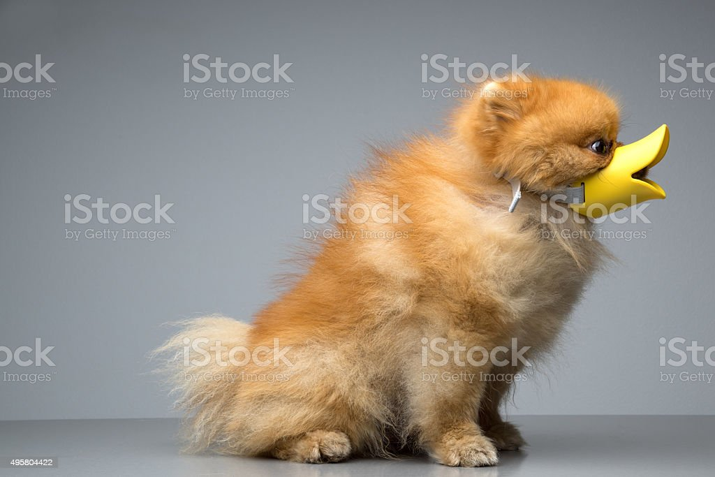Dog Breed the Spitz dressed duck stock photo