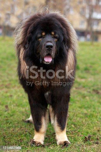 Dog breed Tibetan Mastiff on the grass