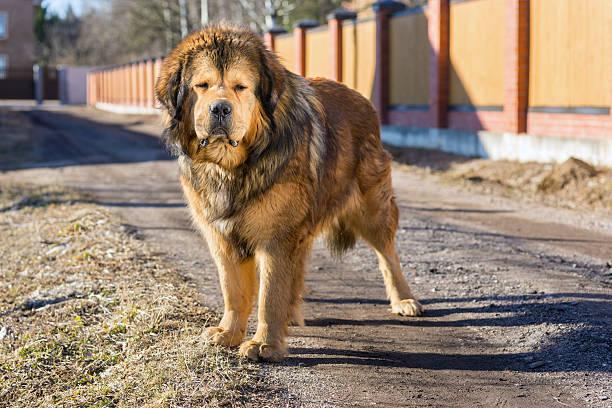 Dog breed Tibetan Mastiff stock photo