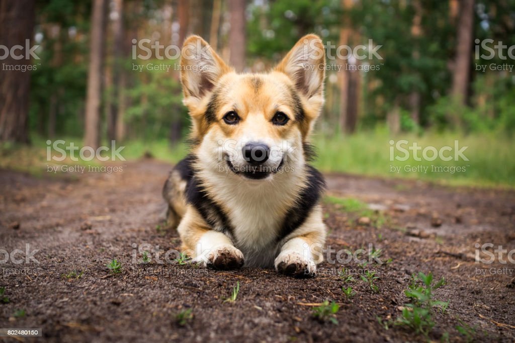 Dog breed Welsh corgi pembroke for a walk in the beautiful forest. stock photo