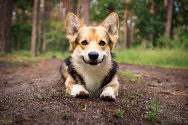 hund hunderasse welsh corgi pembroke für einen spaziergang in den schönen wald. - welsh corgi pembroke stock-fotos und bilder