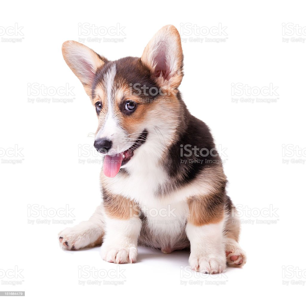 dog breed Welsh Corgi, Pembroke royalty-free stock photo
