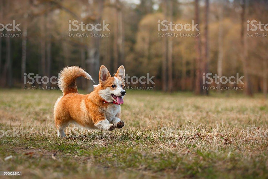 Dog breed Welsh Corgi Pembroke stock photo