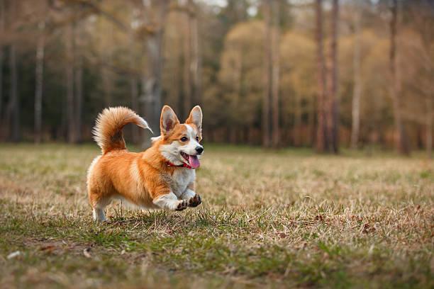 hund rasse welsh corgi pembroke - welsh corgi pembroke stock-fotos und bilder