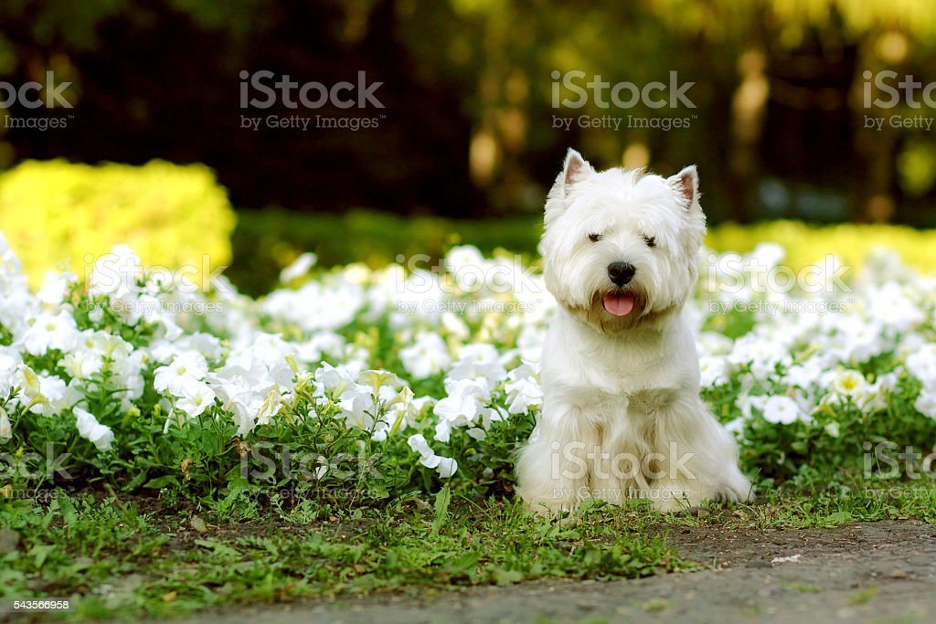 dog breed West highland white Terrier stock photo