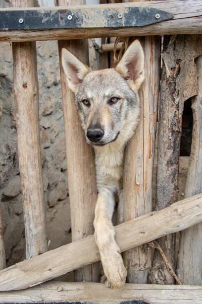 köpek doğurmak wolfhound - k logo stok fotoğraflar ve resimler