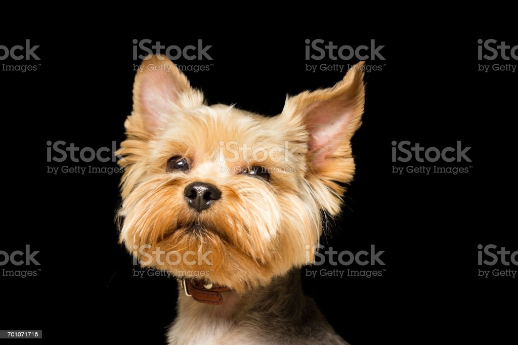 Dog Breed Yorkshire Terrier After A Haircut A Closeup Portrait Is