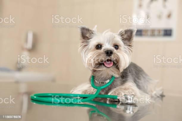 Dog breed yorkshire terrier lies next to a stethoscope on a metal in picture id1156978926?b=1&k=6&m=1156978926&s=612x612&h=uujolgbi wqeavz7sj7xlbyrvdzonlrx3hbj55rz4ku=
