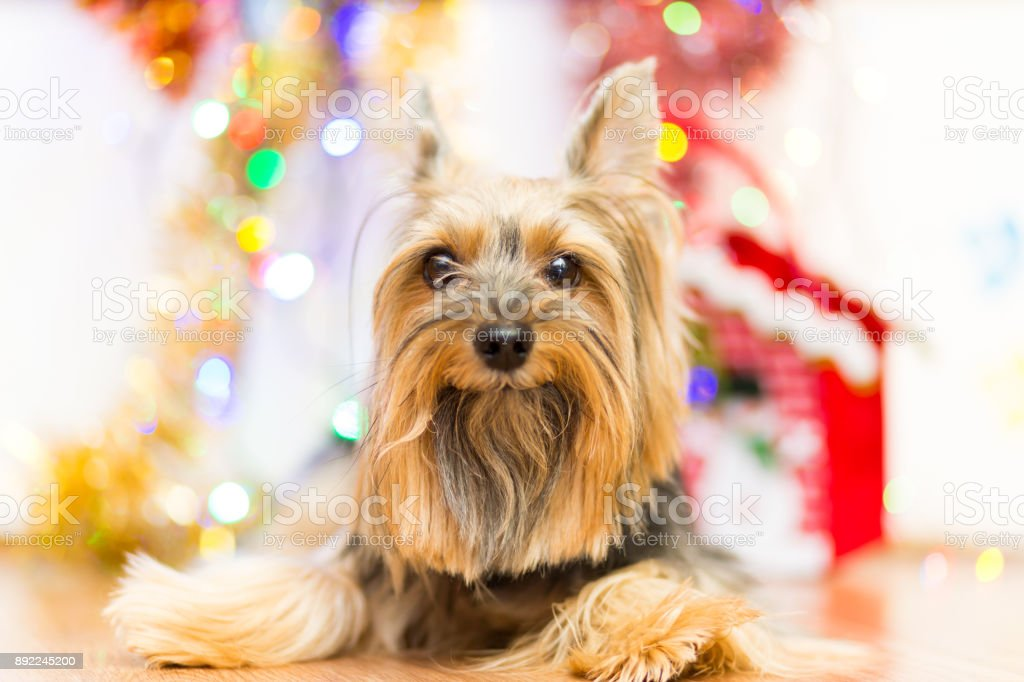 A dog breed Yorkshire terrier on a background of Christmas garlands stock photo