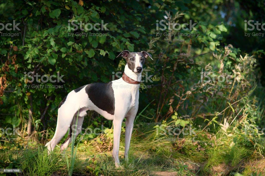 dog breeds whippet, greyhound hunting dogs stock photo
