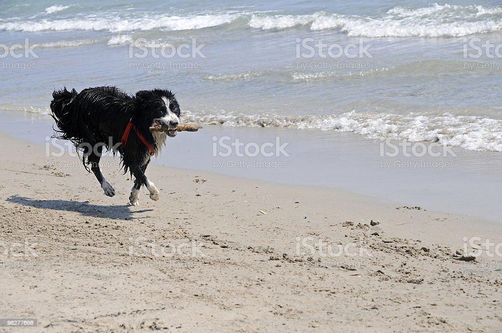 Cane restituire un pezzo di legno (Serie foto stock royalty-free