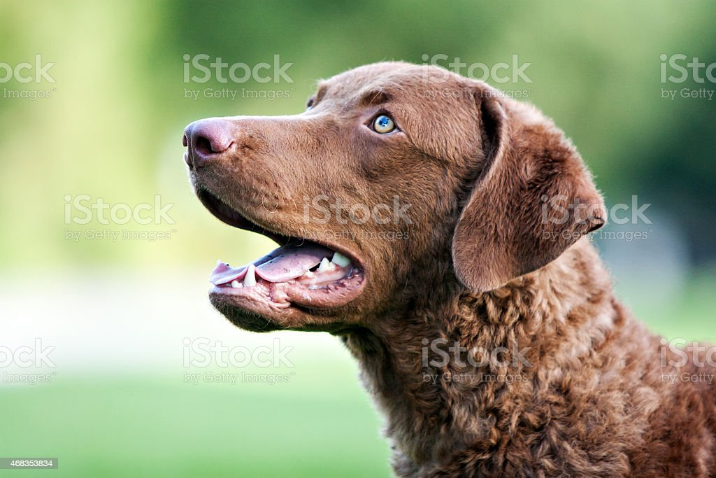 Dog: Brown Retriever royalty-free stock photo