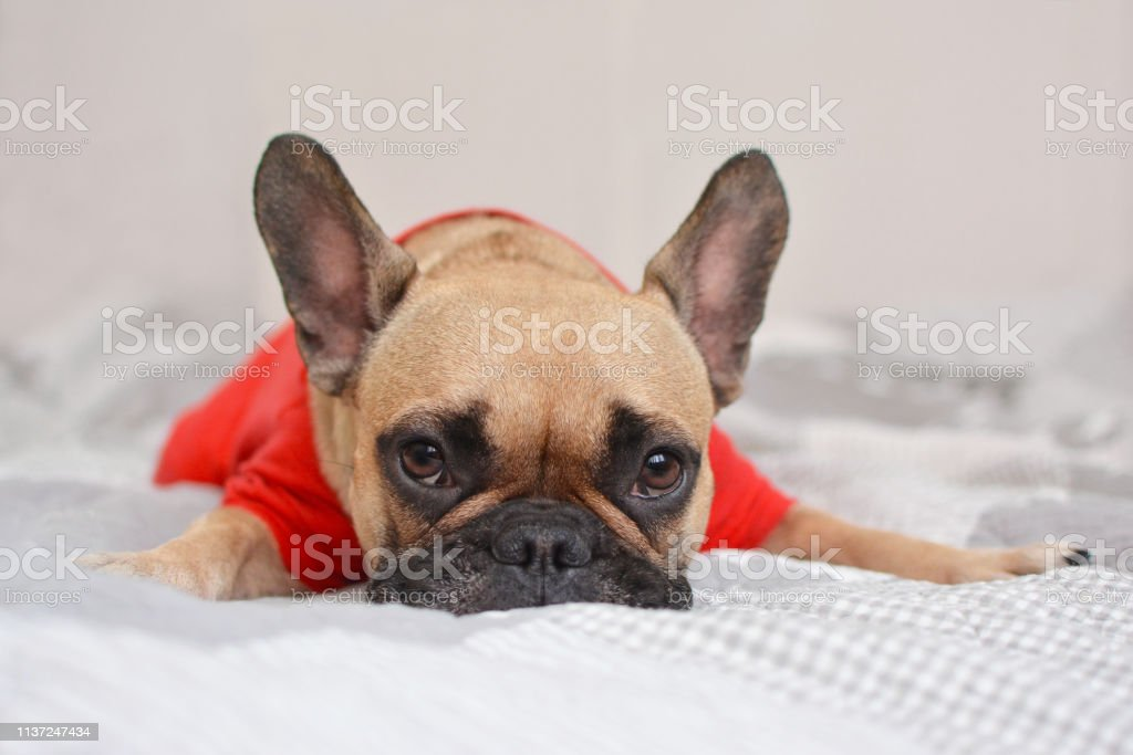 Dog Bulldog French Puppy Pet Animal French Bulldog Cute Canine White Portrait Isolated Breed Funny Pug Pets Brown Young Black Pedigree Studio Mammal Small Adorable Sad Stock Photo Download Image Now
