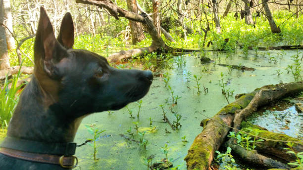 Dog by a Swamp Pond stock photo