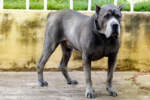 Dog Cane Corso Adult Stock Photo - Download Image Now