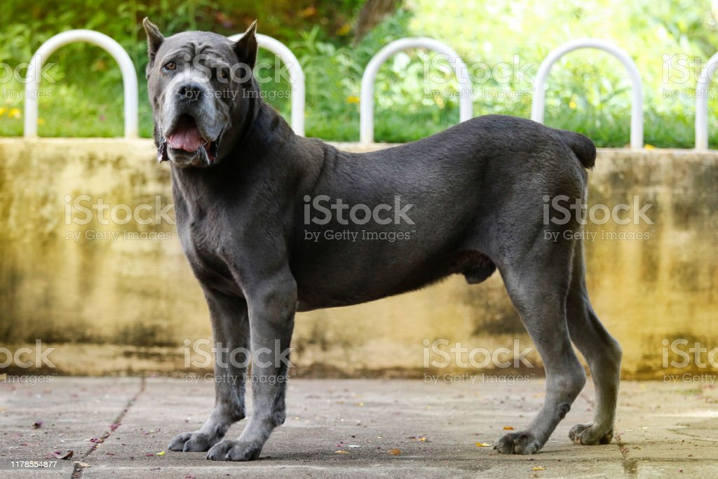Dog Cane Corso adult Dog of the Cane Corso race of adult age in haughty pose Aggression Stock Photo