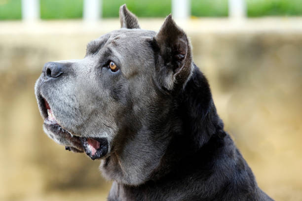 Dog Cane Corso adult Dog of the Cane Corso race of adult age in haughty pose antecedence stock pictures, royalty-free photos & images