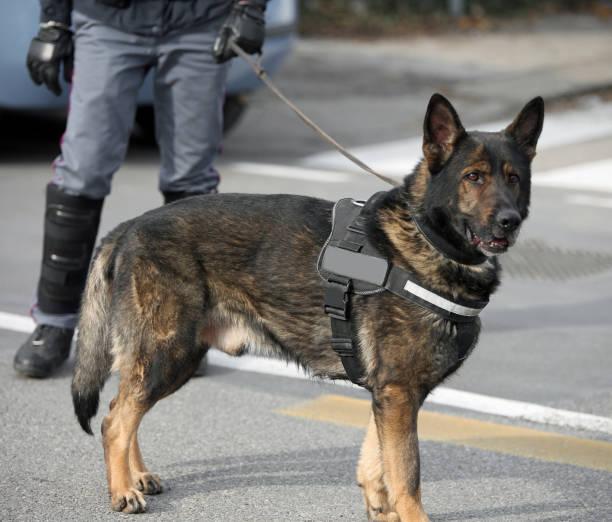 Hund Canine Einheit der Polizei und ein Polizist – Foto