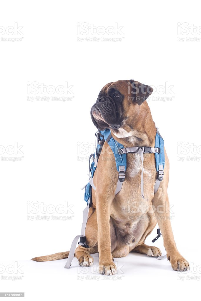 Dog carrying backpack royalty-free stock photo