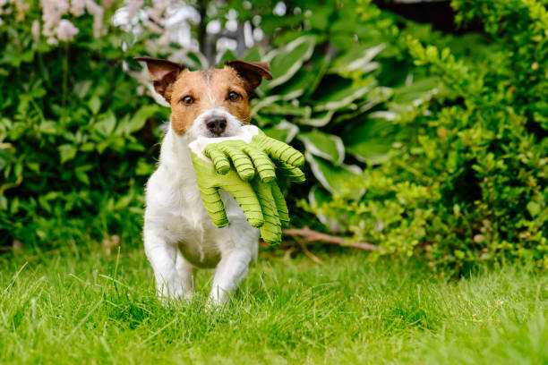 Dog carrying gardening gloves running on green grass lawn at garden picture id935493562?b=1&k=6&m=935493562&s=612x612&w=0&h=yi7urskfof7cutu65ahyalv c1qsigkx7s q6zoqq70=