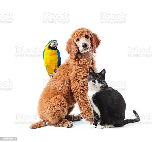 Dog cat and bird parrot pet isolated on white background picture id469909912?b=1&k=6&m=469909912&s=612x612&h=m40qtp4eokybzklnaeere t0ikt4jgmdd0xzfrudbge=
