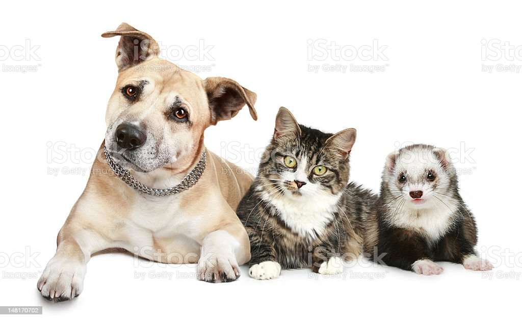 Dog, cat and ferret royalty-free stock photo