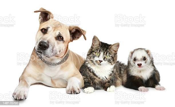 Dog cat and ferret picture id148170702?b=1&k=6&m=148170702&s=612x612&h= tmbfellj1l7bh bikfqx ne6xeipyyocciant5wxca=